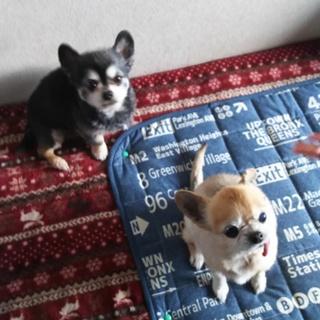 チワワの夫婦犬です。里親を探しております!