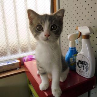 スコテッィシュ 子猫3か月 男の子