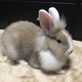 子ウサギの里親募集 3羽