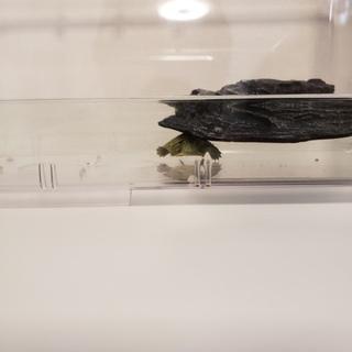 ミドリガメの赤ちゃん