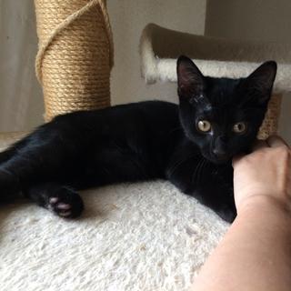 毛並みつやつや♪ 甘えん坊の黒猫♂ホセ