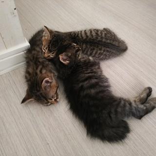 (募集一時停止)子猫里親さん