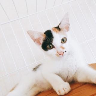 美人三毛猫ちゃん