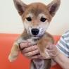 生後3ヶ月の柴犬の男の子、紋太君。