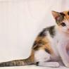 綺麗な三毛猫さん★ランちゃん