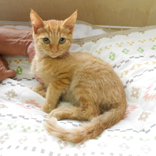 3ヶ月の茶トラ君☆美猫男子です