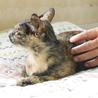 小柄で人馴れバツグンの美猫サビさん サムネイル5