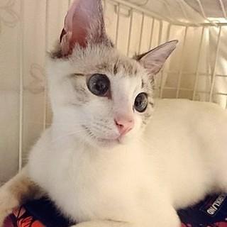 シャムミックスの美猫トコちゃん。白血病陽性です。