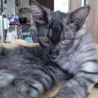 シルバーの毛並が美しいヤマトくん☆4ヶ月