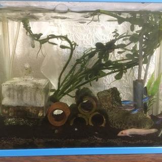 熱帯魚、ヒドジョウ