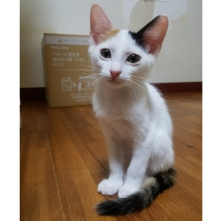 三毛猫☆あずき