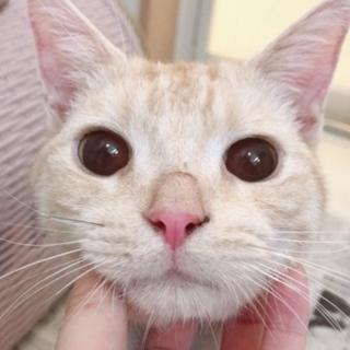 【再募集】クリーム系茶トラ!超温厚マイペース猫