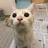 【再募集】クリーム系茶トラ!超温厚マイペース猫 サムネイル2