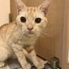 【再募集】クリーム系茶トラ!超温厚マイペース猫 サムネイル3
