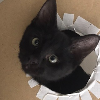 より目が可愛い黒猫の里親様を募集しています