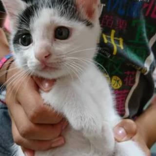 おとなしくて飼いやすい仔猫のアナゴ君 二ヶ月