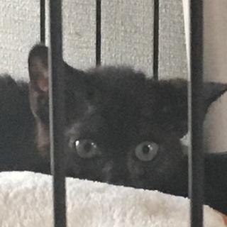 生後3ヶ月くらいの黒猫の女の子です!人見知りです