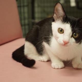 美形で細身の白黒子猫♪女の子です