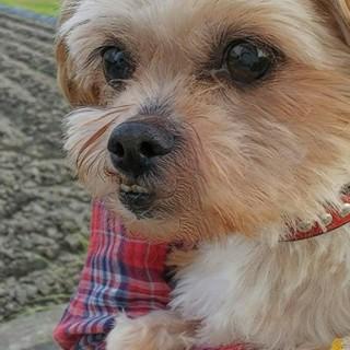ヨークシャーテリアとシーズーのミックス犬です。