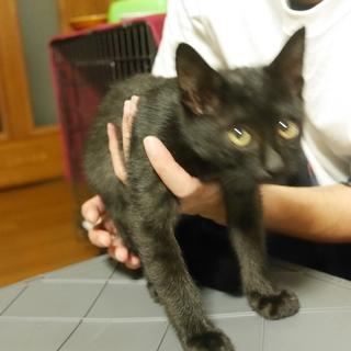 生後3ヶ月のかわいい黒猫男子