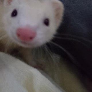 ピーターソン1歳、白(17年8月生まれ)女の子
