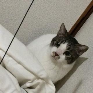 【急募】小柄・美猫・キジシロ猫