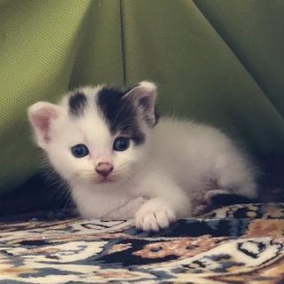 大きいマシュマロ子猫!