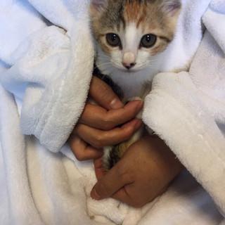 3ヶ月未満の超絶美猫の三毛ちゃん