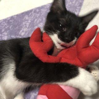3ヶ月の元気な白黒ネコ♂です