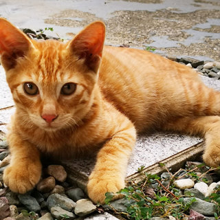 子猫(茶トラ:ボブテイル?)※東京都での受渡し可