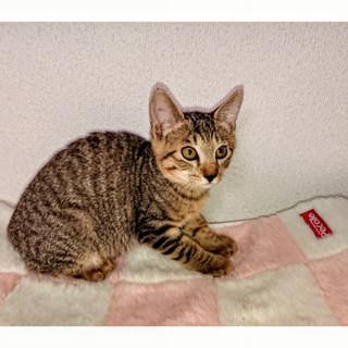 3ヶ月 丸々子猫、ほんとは甘えたい♂キジトラ