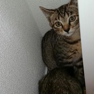 3ヶ月 必死の猫パンチイケメン♂キジトラ