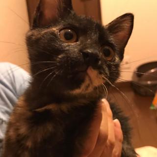 珍しい黒サビの子猫ちゃん