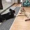 【再募集】クリーム系茶トラ!超温厚マイペース猫 サムネイル4