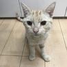 【再募集】クリーム系茶トラ!超温厚マイペース猫 サムネイル6