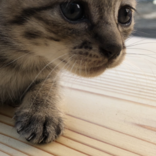 仔猫の里親さん募集します
