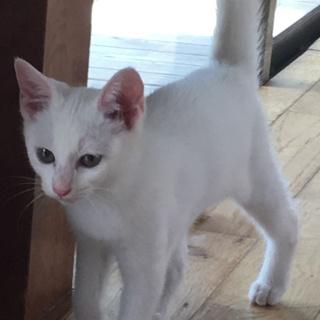 白猫里親募集