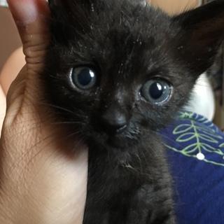 人が好き黒猫シカゴちゃん1ヶ月