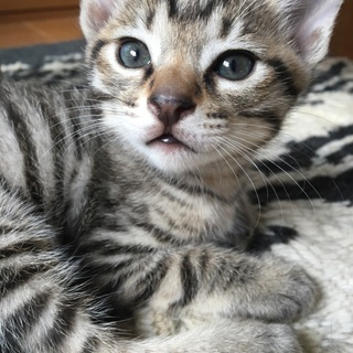可愛い盛りの2ヶ月の仔猫ちゃん♪キジトラの女の子