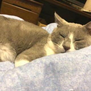 去勢済・血液検査済等のグレイの猫です。