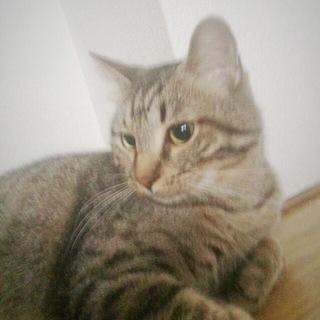 【急募】ぽっちゃりまったりキジトラ猫