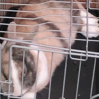 メスのミニウサギの里親さん募集