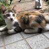 台風の日からやってきた縞三毛の元気な子猫です
