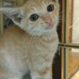 慣れ慣れミルクティー猫1ヶ月