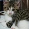 遊ぶの大好き!美人な子猫 の里親様募集中!! サムネイル6