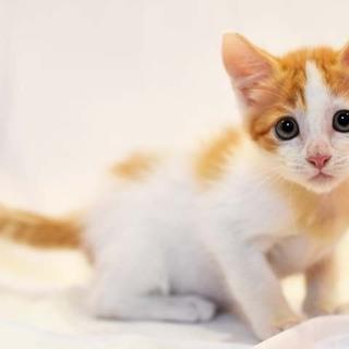 ちょっぴりアメリカンカールな子猫★コム君