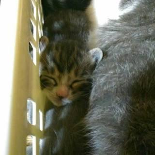 可愛いトラキジとキジ白の子猫チャン。