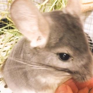 小動物チンチラ ()