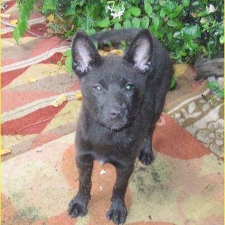 甲斐犬の仔犬 3ヵ月