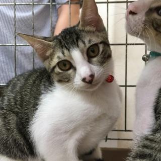 子猫 可愛いキジシロ  ♀